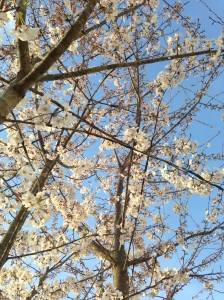 Cherry tree blooming